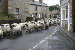 Sheep in Austwick Village